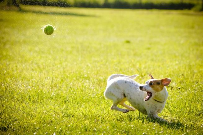 """Le chien """"aboyeur"""""""