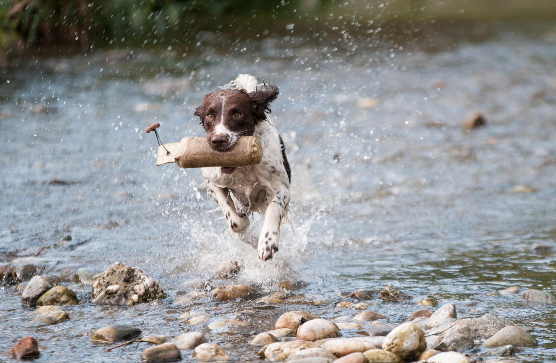 """Le chien """"Fugueur"""""""