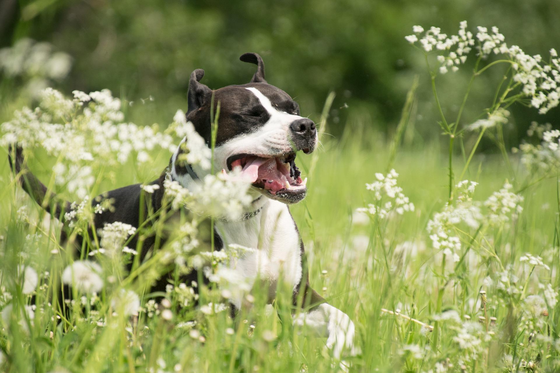 Formation des Maîtres des chiens catégorisés